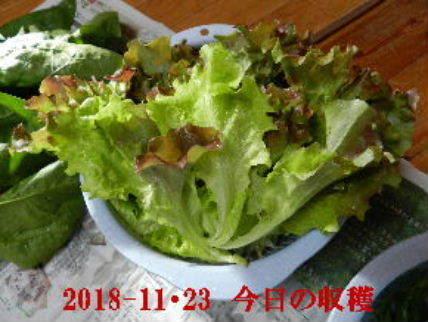 2018-11・23 今日の収穫 (4).JPG