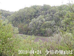 2019-04・24 今日の里山は・・・ (3).JPG