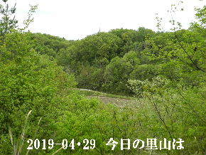 2019-04・29 今日の里山は・・・ (3).JPG