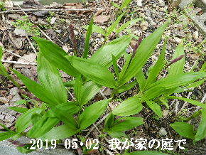 2019-05・02 我が家の庭で・・・ (4).JPG