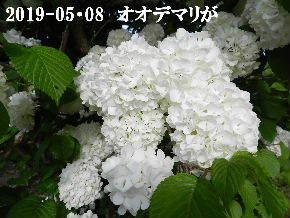 2019-05・08 今日の出遭い・・・ (3).JPG