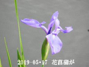 2019-05・17 今日の出遭い・・・ (4).JPG