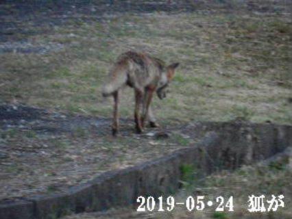 2019-05・24 狐が・・・.JPG