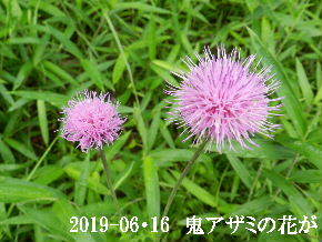 2019-06・16 今日の出遭い・・・ (5).JPG