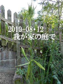 2019-08・12 我が家のスナップ・・・ (7).JPG