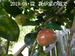 2019-08・12 我が家のスナップ・・・ (8).JPG