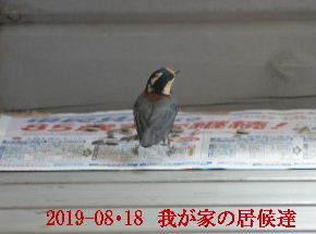 2019-08・18 我が家の居候達・・・ (1).JPG