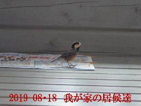 2019-08・18 我が家の居候達・・・ (2).JPG