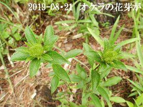 2019-08・21 里の山野草・・・ (1).JPG