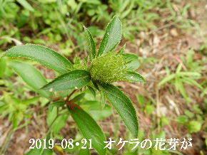 2019-08・21 里の山野草・・・ (2).JPG