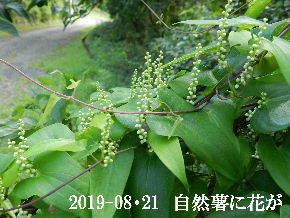 2019-08・21 里の山野草・・・ (7).JPG