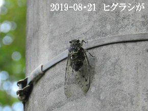 2019-08・21 里の昆虫達・・・ (4).JPG