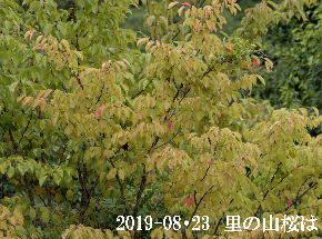 2019-08・23 里の山桜は・・・ (3).JPG