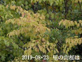 2019-08・23 里の山桜は・・・ (4).JPG