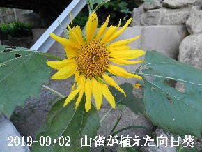 2019-09・02 山雀が植えた向日葵.JPG