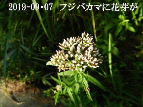 2019-09・07 今日の出遭い・・・ (3).JPG
