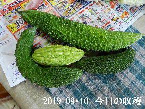 2019-09・10 今日の収穫・・・ (3).JPG