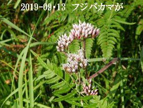 2019-09・13 今日の出遭い・・・ (8).JPG