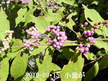 2019-09・15 今日の出遭い・・・ (3).JPG