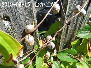 2019-09・15 我が家のスナップ・・・ (2).JPG